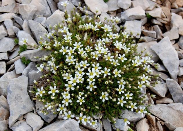 Arenaria grandiflora subsp. grandiflora