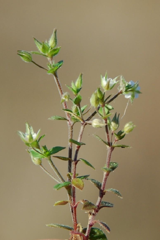 Arenaria serpyllifolia subsp. leptoclados