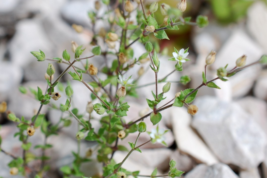 Arenaria serpyllifolia subsp. serpyllifolia 16