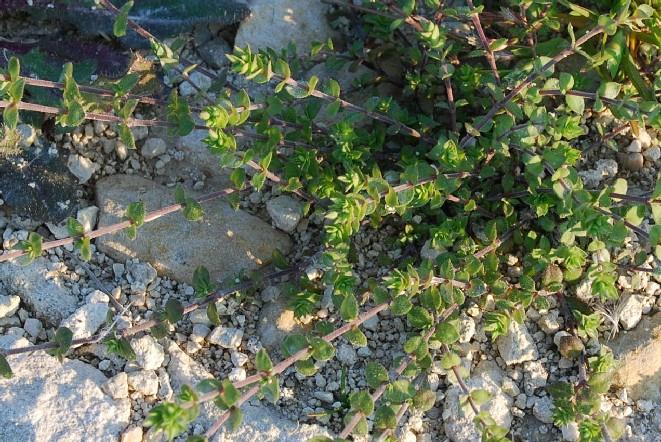 Arenaria serpyllifolia subsp. serpyllifolia 5