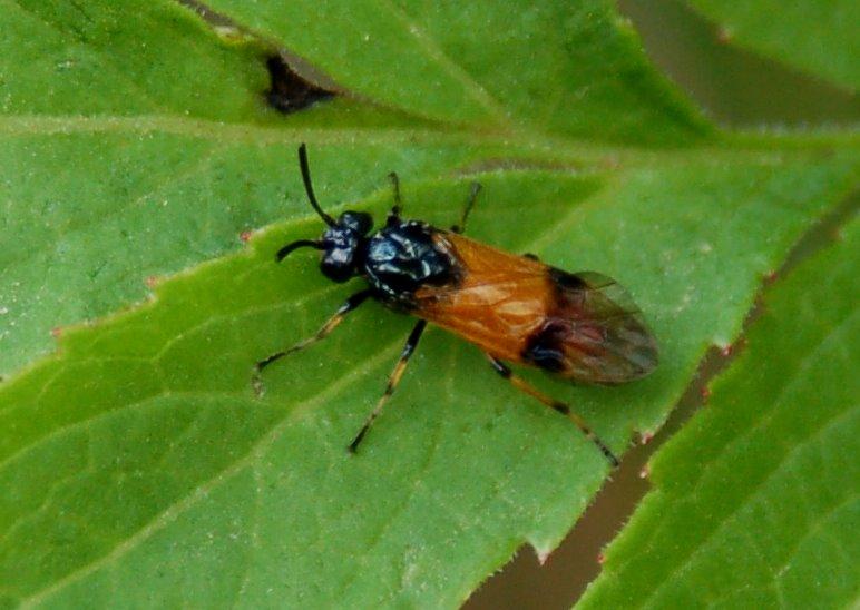 Arge cyanocrocea -  Argidae