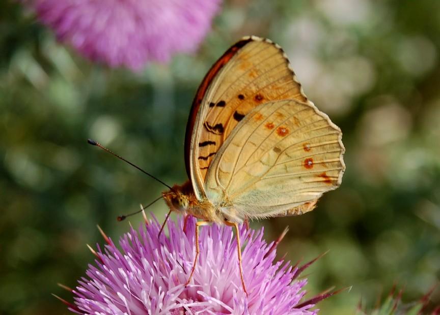 Argynnis adippe 2 -  Nymphalidae