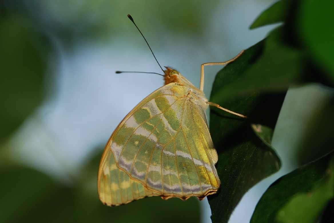 Argynnis paphia -  Nymphalidae