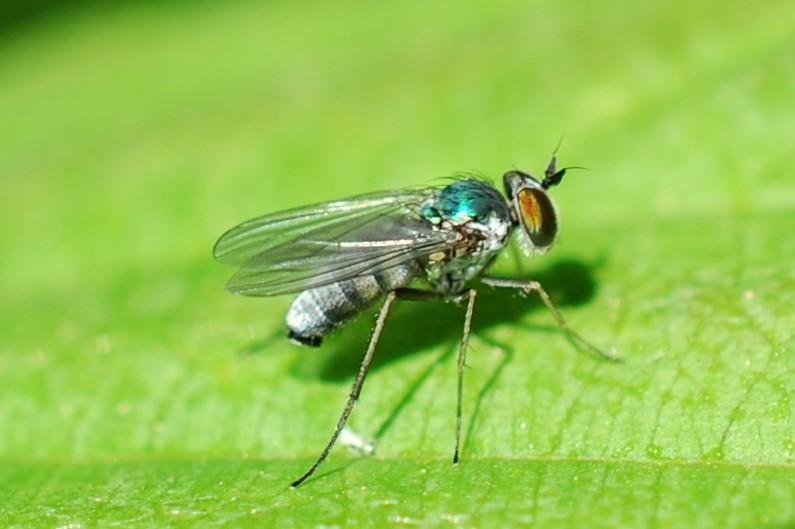 Argyra sp. - Dolichopodidae