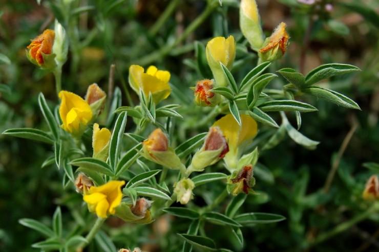 Argyrolobium zanonii subsp. zanonii