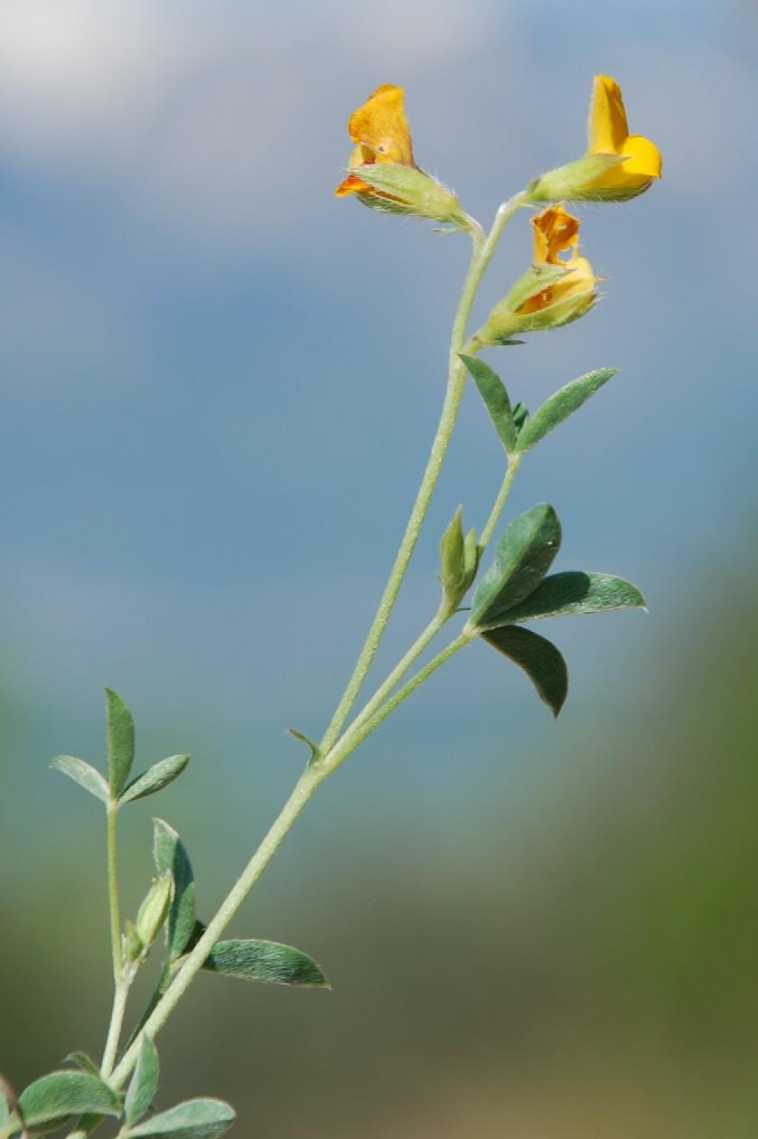 Argyrolobium zanonii subsp. zanonii 13