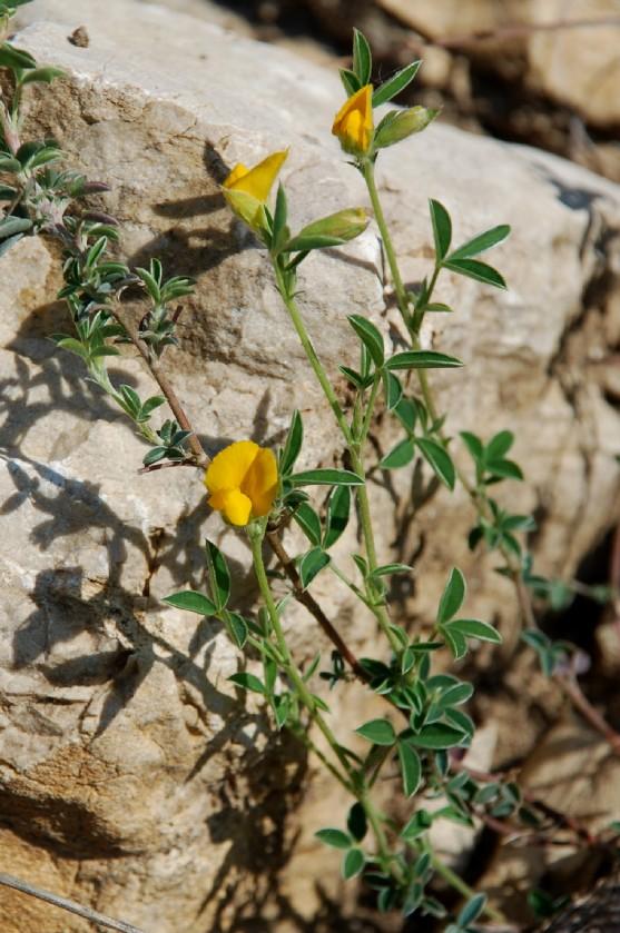 Argyrolobium zanonii subsp. zanonii 15