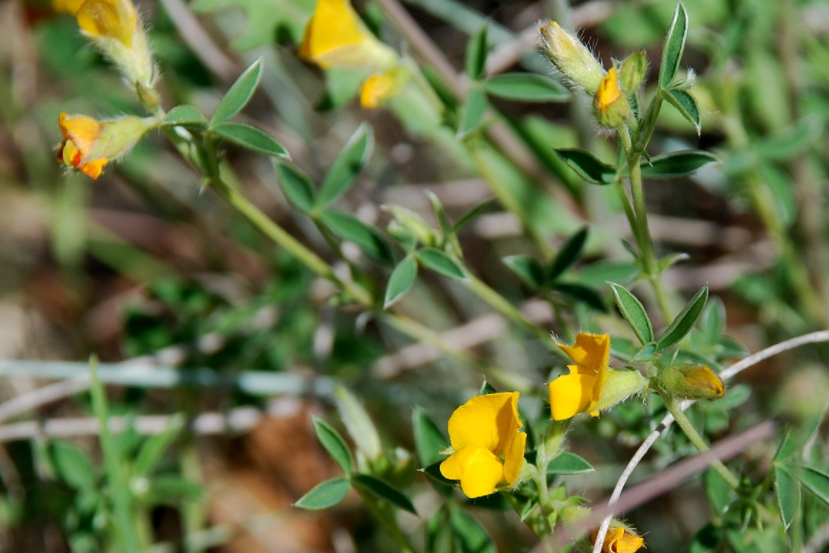 Argyrolobium zanonii subsp. zanonii 18
