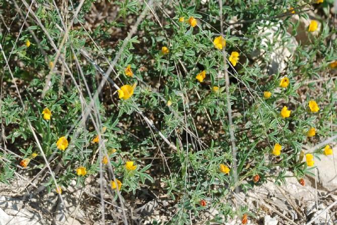 Argyrolobium zanonii subsp. zanonii 19