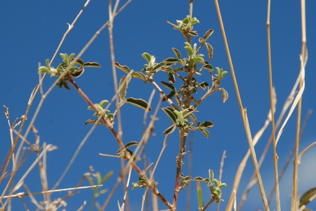 Argyrolobium zanonii subsp. zanonii 24