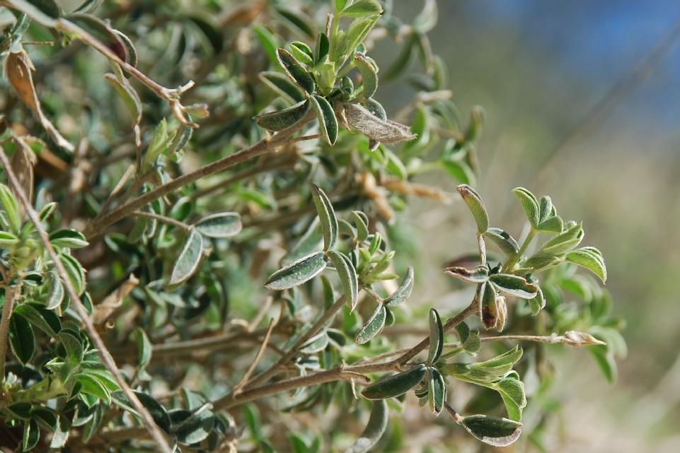 Argyrolobium zanonii subsp. zanonii 25