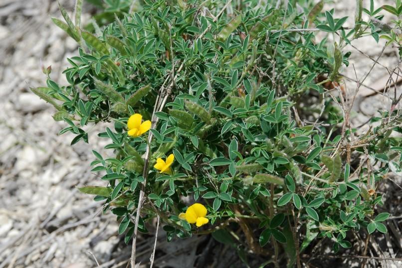 Argyrolobium zanonii subsp. zanonii 27
