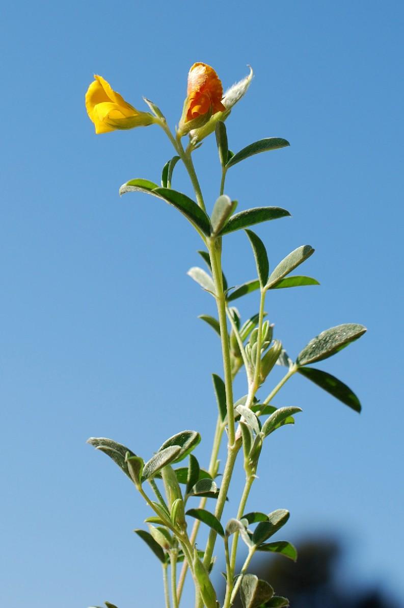 Argyrolobium zanonii subsp. zanonii 31
