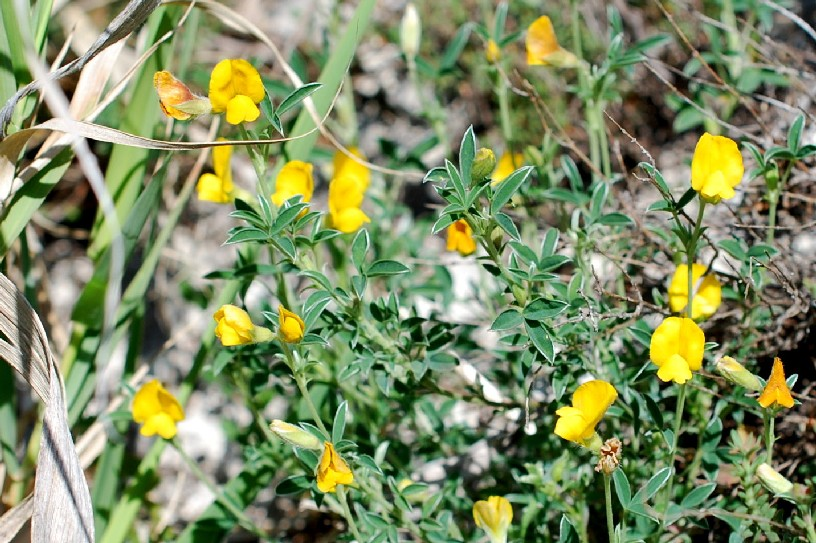Argyrolobium zanonii subsp. zanonii 32