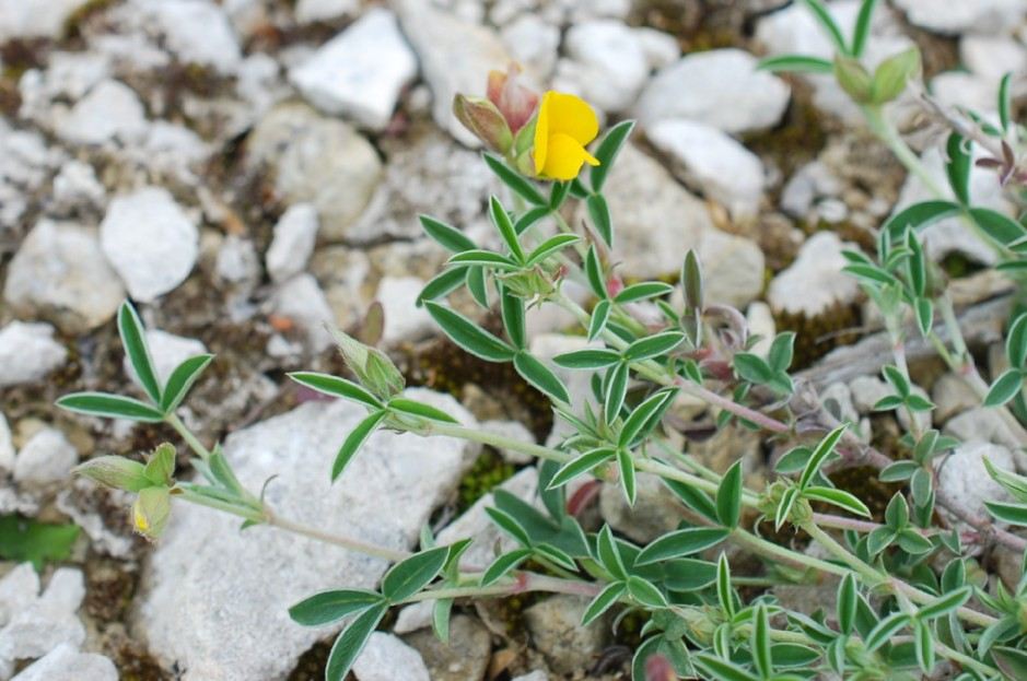 Argyrolobium zanonii subsp. zanonii 34
