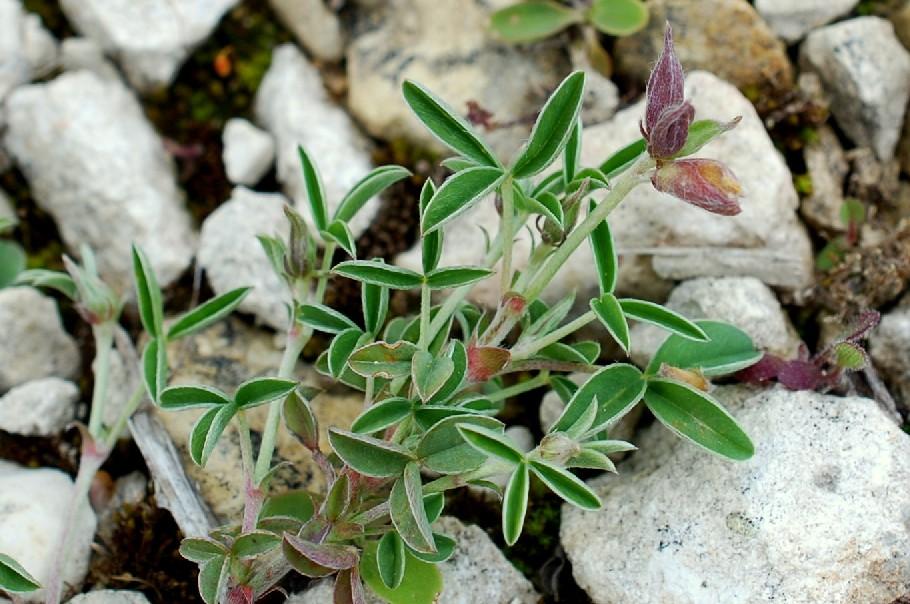 Argyrolobium zanonii subsp. zanonii 35