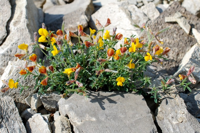 Argyrolobium zanonii subsp. zanonii 37