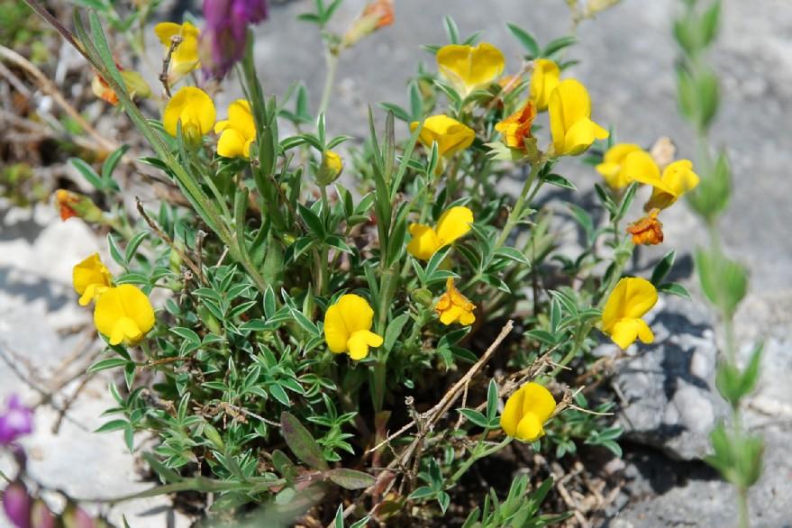 Argyrolobium zanonii subsp. zanonii 9
