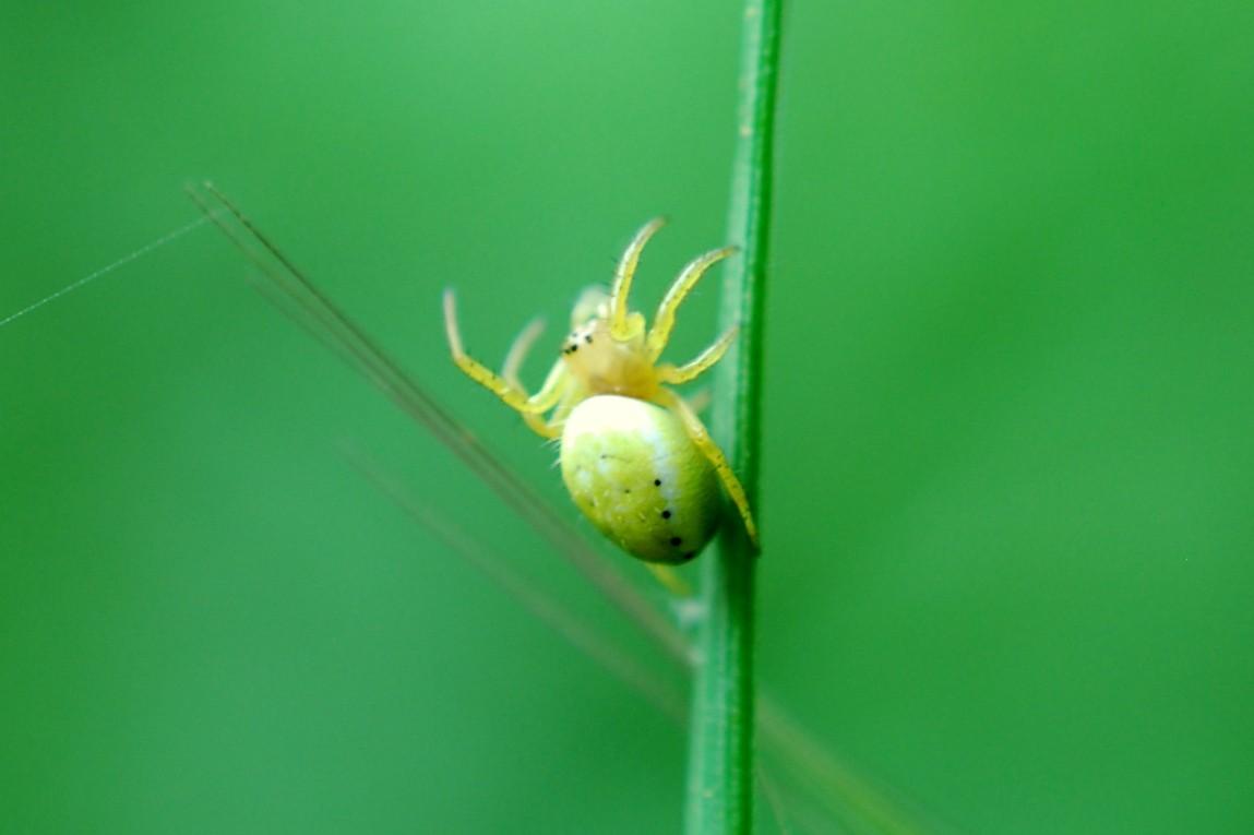 Arianella sp. - Araneidae
