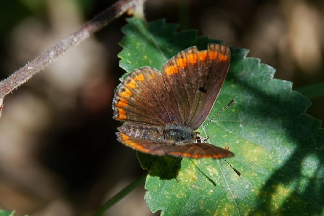 Aricia agestis - Lycaenidae