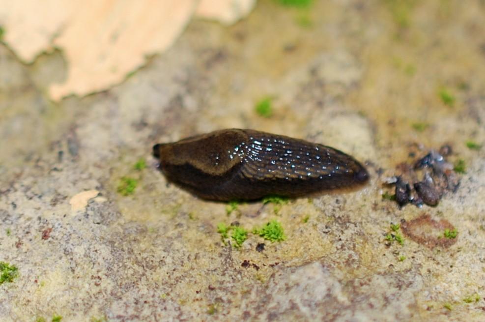 Arion sp. - Arionidae
