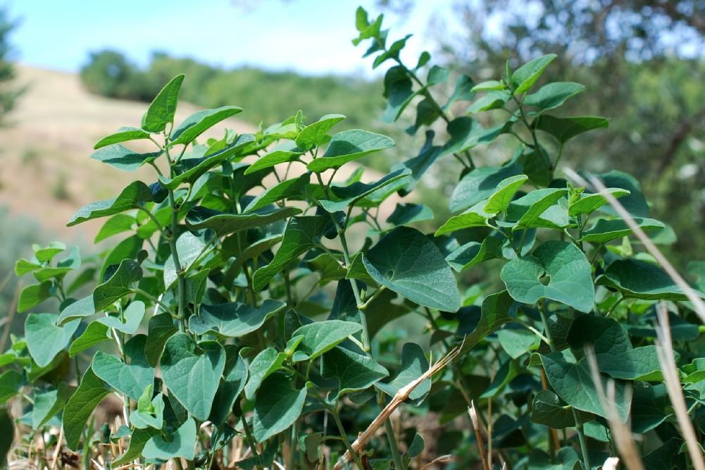Aristolochia clematitis 10
