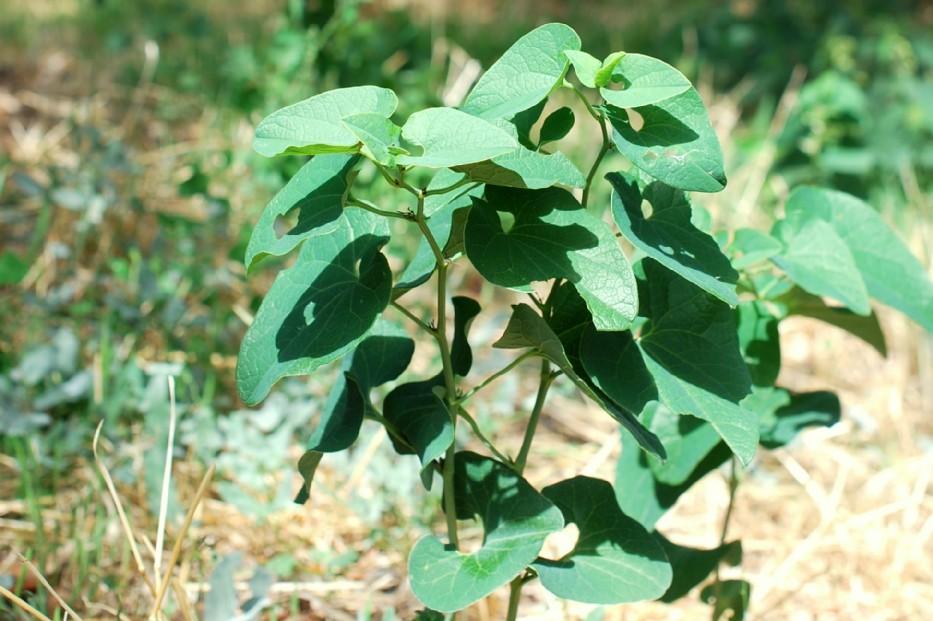 Aristolochia clematitis 11