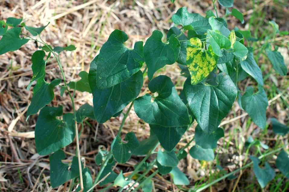 Aristolochia clematitis 12