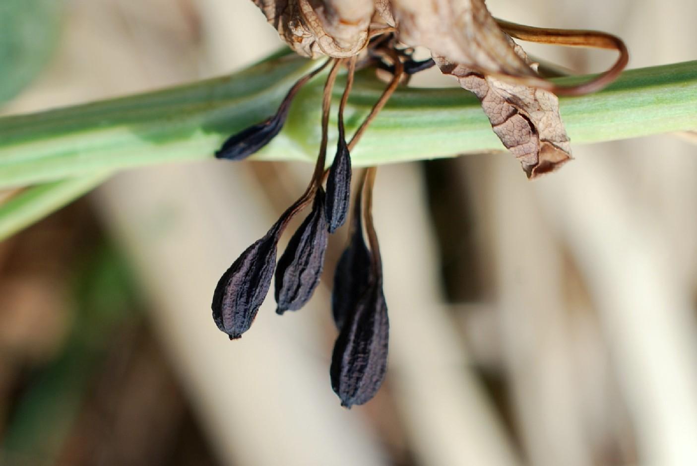 Aristolochia clematitis 15