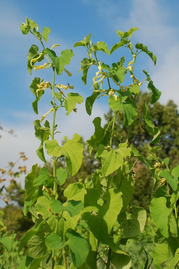 Aristolochia clematitis 8