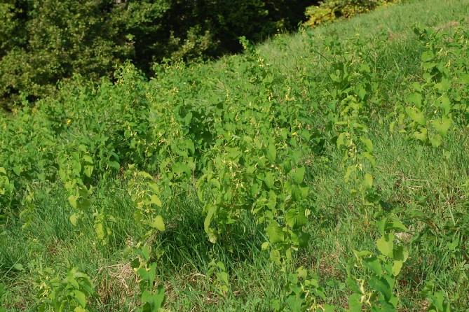 Aristolochia clematitis 9