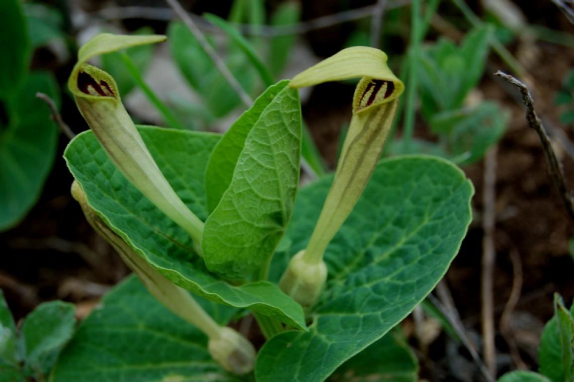 Aristolochia lutea