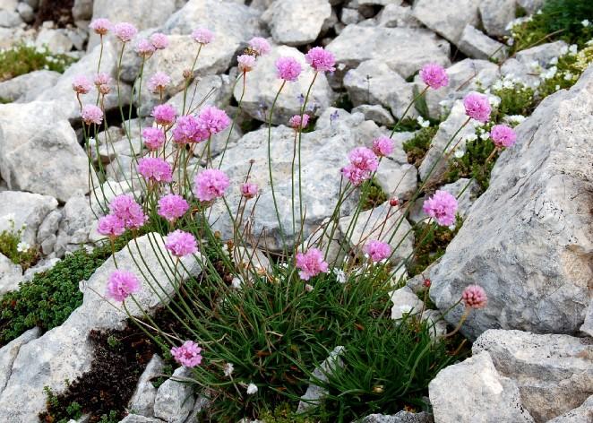 Armeria majellensis subsp. majellensis