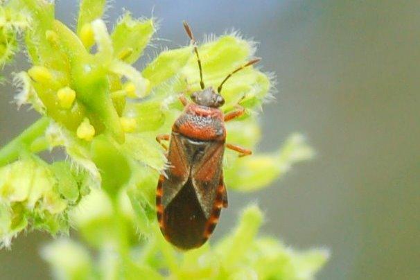 Arocatus melanocephalus - Lygaeidae