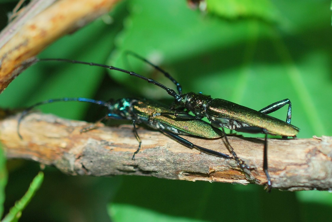 Aromia moschata - Cerambycidae