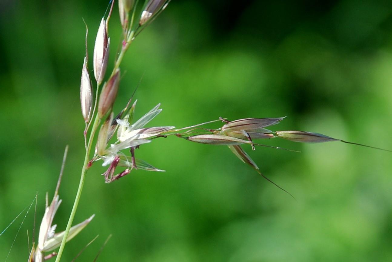 Arrhenatherum elatius subsp. elatius 10