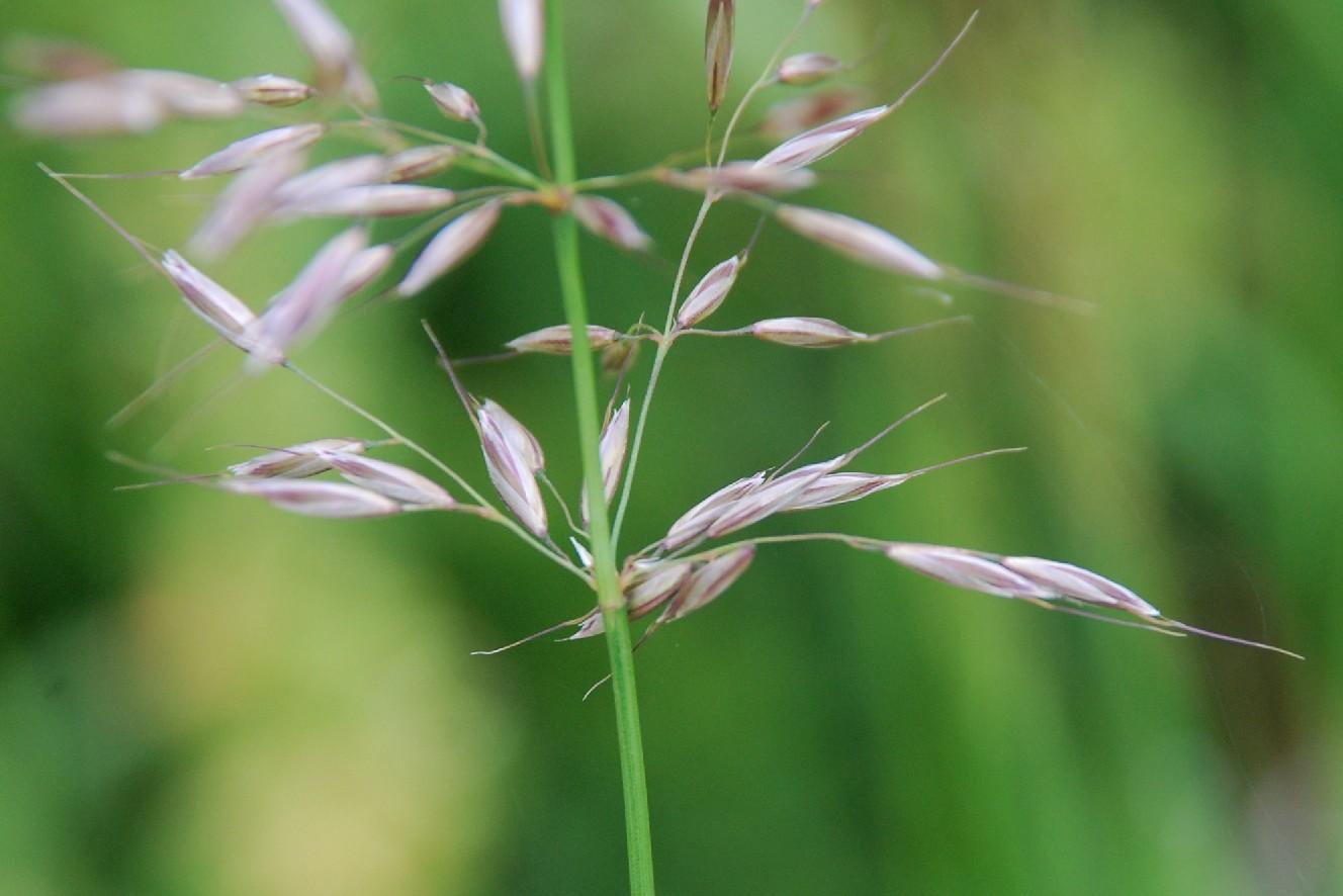 Arrhenatherum elatius subsp. elatius 11