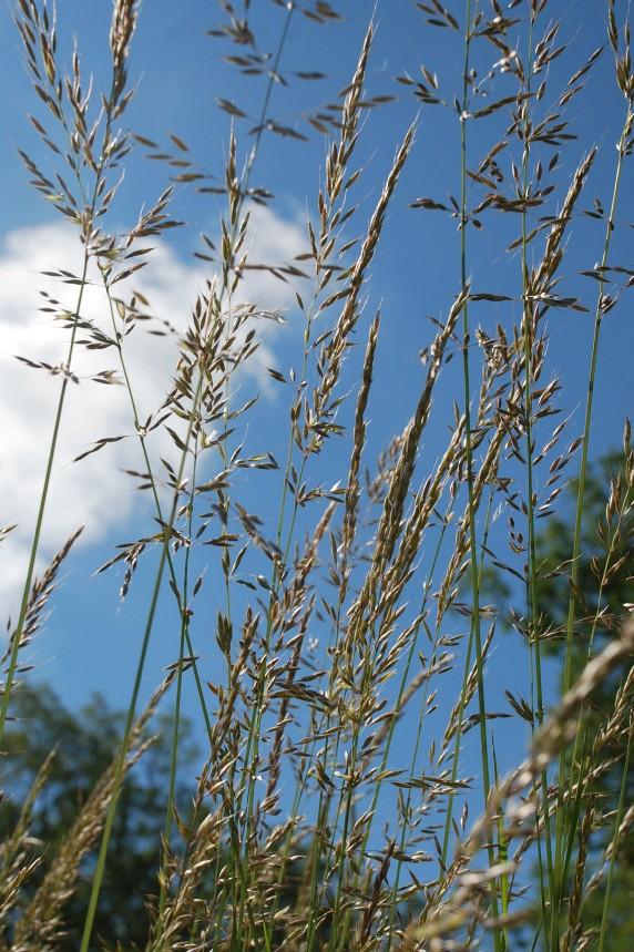 Arrhenatherum elatius subsp. elatius 13