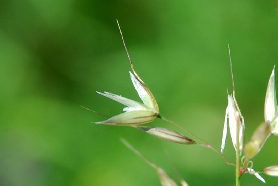 Arrhenatherum elatius subsp. elatius 9