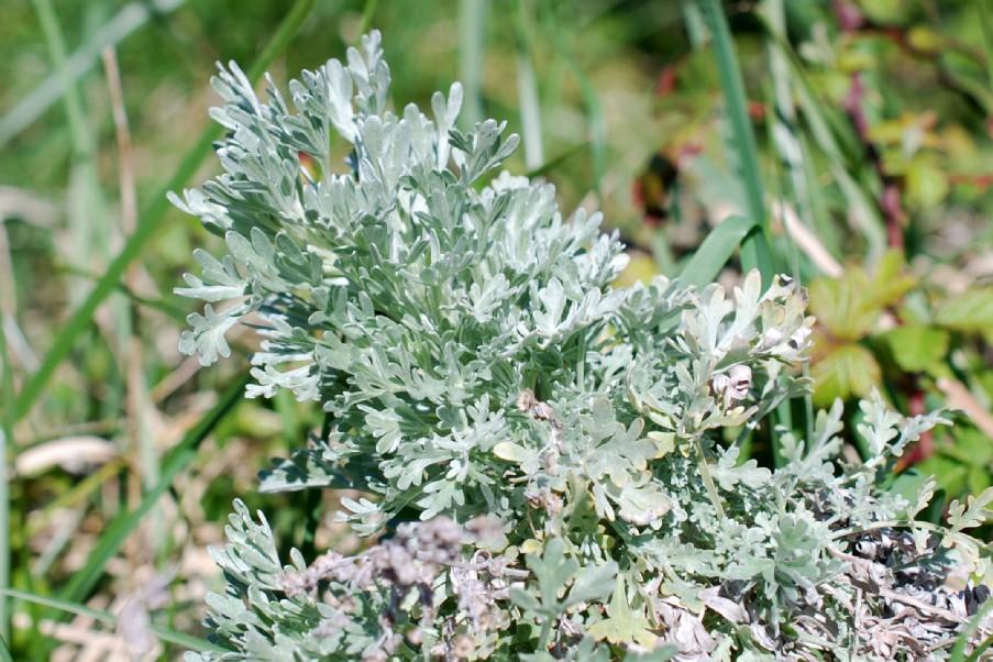 Artemisia absinthium 13