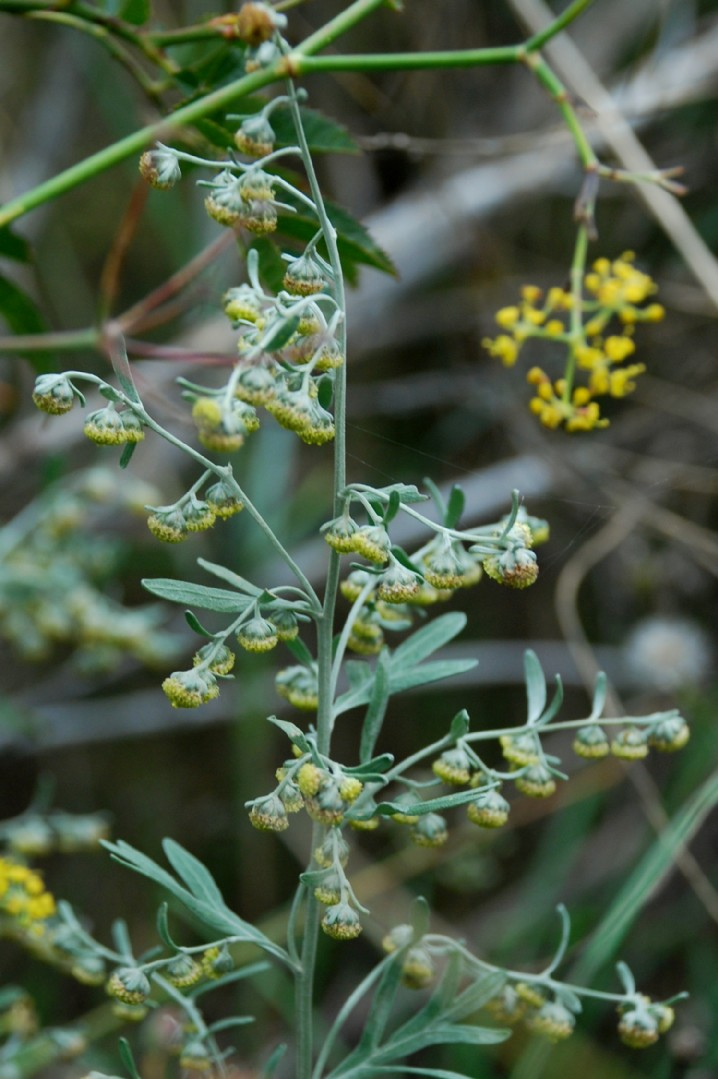 Artemisia absinthium 3