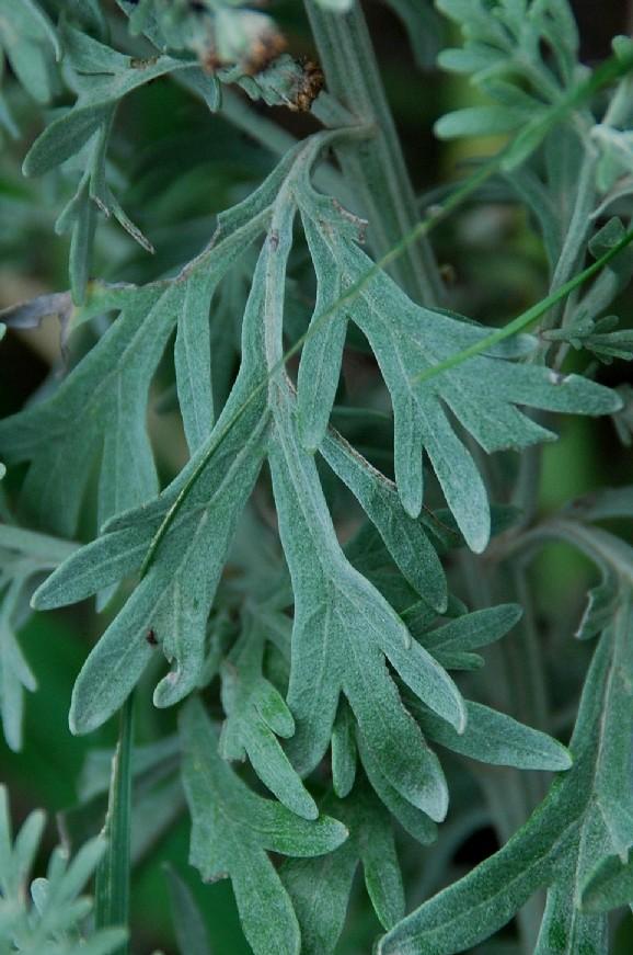 Artemisia absinthium 5