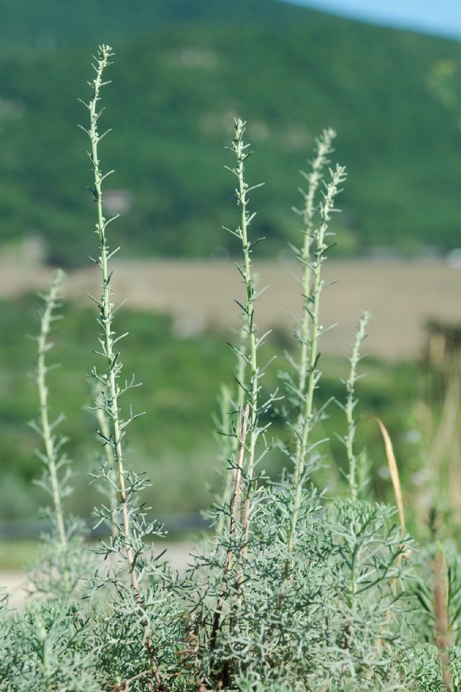 Artemisia alba 5