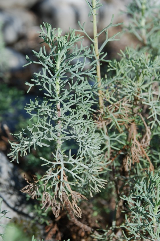 Artemisia alba 6