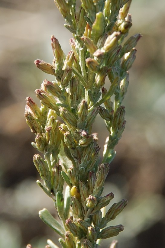 Artemisia caerulescens subsp. caerulescens 10