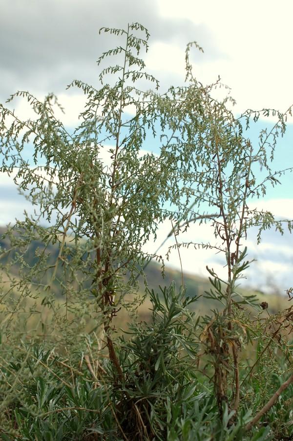 Artemisia caerulescens subsp. caerulescens 14