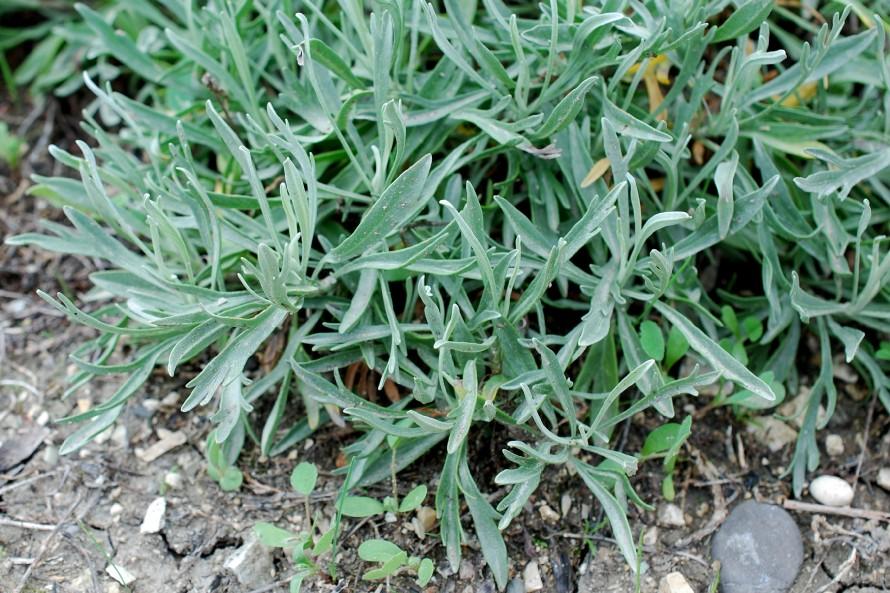 Artemisia caerulescens subsp. caerulescens 15