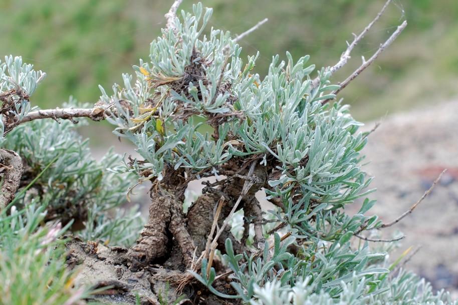 Artemisia caerulescens subsp. caerulescens 19