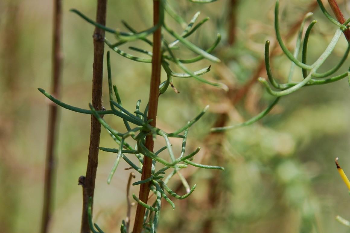 Artemisia campestris subsp. glutinosa 13