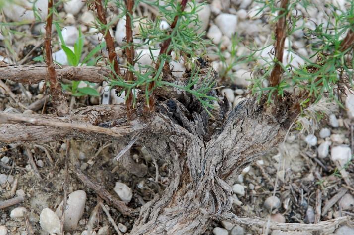 Artemisia campestris subsp. glutinosa 9